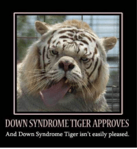Image of: Down Syndrome Tiger Approves And Down Syndrome Tiger Isnt Easily Pleased Animals Meme On Meme Funny Down Syndrome Tiger Approves And Down Syndrome Tiger Isnt Easily