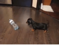 Doxie Puppy Showing That Plastic Bottle Who Is The Boss!: Doxie Puppy Showing That Plastic Bottle Who Is The Boss!