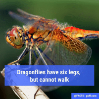 "And despite having ""dragon"" in their name, they cannot breath fire either!: Dragonflies have six legs,  but cannot walk  @FACTS l guff com And despite having ""dragon"" in their name, they cannot breath fire either!"