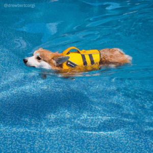 Butt, Corgi, and News: @drewbertcorgi drewbertcorgi: Breaking News: Loaf of bread swimming casts a shadow in the shape of… you guessed it, a loaf of bread!  But just look at this sweet, sweet swimming boy. Look at how he cuts the water with his snout and keeps the water away from his ears! The swimming vest keeps his torso afloat (the butt doesn't need any help - it floats on its own). And those little underwater marshmallow paws too!  #Drewbert #Swimbert #corgi