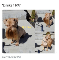Beer, Memes, and 🤖: *Drinks 1 IPA*  @Tao  0  8/27/18, 5:59 PM Let your dog drink craft beer they said...😒