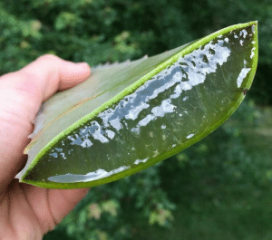 drkshdwbnch: amarlex:  viralthings: Amazing aloe chunk *puts my entire forearm into this like its a glove*  the brain is the portal of demon thoughts … :( : drkshdwbnch: amarlex:  viralthings: Amazing aloe chunk *puts my entire forearm into this like its a glove*  the brain is the portal of demon thoughts … :(
