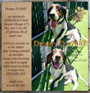 **FOSTER or ADOPTER NEEDED ASAP** Droopy D 67687 ... an absolutely GORGEOUS little Bassett/Beagle (??) boy, just 2 yrs old, 25 glorious lbs of super-cute, waiting for your loving arms at the Manhattan, NY ACC. A bit of a scaredy cat at the shelter (but coming around) & therefore rescue-only meaning you have to apply with rescues to foster or adopt him. PLEASE, DO! Apply now to save his life!   ✔Pledge✔Tag✔Share✔FOSTER✔ADOPT✔Save a life!  VIDEO: Droopy D in Doggie Playgroup: https://www.youtube.com/watch?v=ipaqOG5SCHE  Droopy D 67687 Small Mixed Breed Sex male Age 2 yrs (approx.) - 25 lbs  My health has been checked.  My vaccinations are up to date. My worming is up to date.  I have been micro-chipped.   I am waiting for you at the Manhattan, NY  ACC. Please, Please, Please, save me!  Found Location  Bathgate Avenue BRONX, 10458 Date Found 6/30/2019  **************************************** *** TO FOSTER OR ADOPT ***   If you would like to adopt a NYC ACC dog, and can get to the shelter in person to complete the adoption process, you can contact the shelter directly. We have provided the Brooklyn, Staten Island and Manhattan information below. Adoption hours at these facilities is Noon – 8:00 p.m. (6:30 on weekends)  If you CANNOT get to the shelter in person and you want to FOSTER OR ADOPT a NYC ACC Dog, you can PRIVATE MESSAGE our Must Love Dogs - Saving NYC Dogs page for assistance. PLEASE NOTE: You MUST live in NY, NJ, PA, CT, RI, DE, MD, MA, NH, VT, ME or Northern VA. You will need to fill out applications with a New Hope Rescue Partner to foster or adopt a NYC ACC dog. Transport is available if you live within the prescribed range of states.  Shelter contact information: Phone number (212) 788-4000 Email adopt@nycacc.org  Shelter Addresses: Brooklyn Shelter: 2336 Linden Boulevard Brooklyn, NY 11208 Manhattan Shelter: 326 East 110 St. New York, NY 10029 Staten Island Shelter: 3139 Veterans Road West Staten Island, NY 10309 ************************************** 