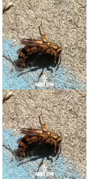 Dude caught a #MurderHornet out in Tampa! 🐝😳😯 (via @luistampagamer) https://t.co/8mUlQe1k8G: Dude caught a #MurderHornet out in Tampa! 🐝😳😯 (via @luistampagamer) https://t.co/8mUlQe1k8G