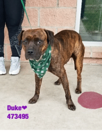 Dogs, Food, and Memes: Duke  473495 Email Placement@sanantoniopetsalive.org if you are interested in Adopting, Fostering, or Rescuing!  Our shelter is open from 11AM-7PM Mon -Fri, 11AM-5PM Sat and Sun.  Urgent Pets are at Animal Care Services/151 Campus. SAPA! is Only in Bldg 1 GO TO SAPA BLDG 1 & bring the Pet's ID! Address: 4710 Hwy. 151 San Antonio, Texas 78227 (Next Door to the San Antonio Food Bank on 151 Access Road)  **All Safe Dogs can be found in our Safe Album!** ---------------------------------------------------------------------------------------------------------- **SHORT TERM FOSTERS ARE NEEDED TO SAVE LIVES- email placement@sanantoniopetsalive.org if you are interested in being a temporary foster!!**