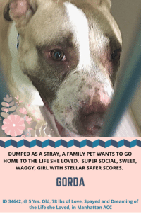 """Click, Dogs, and Family: DUMPED AS A STRAY, A FAMILY PET WANTS TO GO  HOME TO THE LIFE SHE LOVED. SUPER SOCIAL, SWEET,  WAGGY, GIRL WITH STELLAR SAFER SCORES  GORDA  ID 34642, @ 5 Yrs. Old, 78 lbs of Love, Spayed and Dreaming of  the Life she Loved, in Manhattan ACC **** 8 PRECIOUS LIVES HANG IN THE BALANCE **** Please share them now and widely, or foster or adopt yourself. For complete information on any of the pups you are interested in, click on their individual poster in this TBK folder. The killing starts early afternoon, July 21, 2018.  HOW TO RESERVE A """"TO BE KILLED"""" DOG ONLINE (only for those who can get to the shelter IN PERSON to complete the adoption process within 48 hours of reserve, and only for the dogs on the list NOT rated New Hope Rescue Only*). Follow our Step by Step directions below!  PLEASE NOTE – YOU MUST USE A PC OR TABLET – PHONE RESERVES WILL NOT WORK! *  STEP 1: CLICK ON THIS RESERVE LINK: https://newhope.shelterbuddy.com/Animal/List  Step 2: Go to the red menu button on the top right corner, click register and fill in your info.  Step 3: Go to your email and verify account  Step 4: Go back to the website, click the menu button and view available dogs. It should read, """"reserve in progress"""". That is YOUR reserve. Step 5: Scroll to the animal you are interested and click reserve  STEP 6 ( MOST IMPORTANT STEP ): GO TO THE MENU AGAIN AND VIEW YOUR CART. THE ANIMAL SHOULD NOW BE IN YOUR CART! Step 7: Fill in your credit card info and complete transaction Animal Care Centers of NYC (ACC) nycacc.org * If a dog is Rescue Only, or you cannot get to the shelter in person, you must PM our page for assistance w/fostering or adopting IF YOU WANT TO FOSTER OR ADOPT A TBK DOG BUT DO NOT LIVE NEAR THE SHELTER: It's easy, PRIVATE MESSAGE our page or email us at MustLoveDogsNYC@gmail.com"""