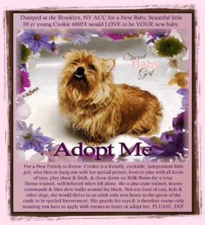 Being Alone, Beautiful, and Bones: Dumped at the Brooklyn, NY ACC for a New Baby, beautiful little  10 yr young Cookie 66051 would LOVE to be YOUR new baby.  Swed  Baby  Gri  Adopt Me  For a New Family to Know: Cookie is a friendly, excitable, independent little  girl, who likes to hang out with her special person, loves to play with all kinds  of toys, play chase & fetch, & chow down on Milk Bones for a treat.  House-trained, well-behaved when left alone, she is also crate traincd, knows  commands & likes slow walks around the block. Not too fond of cats, kids &  other dogs, she would thrive in an adult-only new home as the queen of the  castle to be spoiled forevermore. She guards her toys & is therefore rescue-only  meaning you have to apply with rescues to foster or adopt her. PLEASE, DO! **FOSTER or ADOPTER NEEDED ASAP** Dumped at the Brooklyn, NY ACC for a New Baby, beautiful little 10 yr young Cookie 66051 would LOVE to be YOUR new baby. <3 For a New Family to Know: Cookie is a friendly, excitable, independent little girl, who likes to hang out with her special person, loves to play with all kinds of toys, play chase & fetch, & chow down on Milk Bones for a treat. House-trained, well-behaved when left alone, she is also crate trained, knows commands & likes slow walks around the block. Not too fond of cats, kids & other dogs, she would thrive in an adult-only new home as the queen of the castle to be spoiled forevermore. <3 She guards her toys & is therefore rescue-only meaning you have to apply with rescues to foster or adopt her. PLEASE, DO! Apply now to save her life!   ✔Pledge✔Tag✔Share✔FOSTER✔ADOPT✔Save a life!  Cookie 66051 Small Mixed Breed Sex female Age 10 yrs (approx.) - 26 lbs  My health has been checked.  My vaccinations are up to date. My worming is up to date.  I have been micro-chipped.   I am waiting for you at the Brooklyn, NY ACC. Please, Please, Please, save me!  **************************************** *** TO FOSTER OR ADOPT ***   If you would like to adopt a NYC ACC dog, and can get to the shelter in person to complete the adoption process, you can contact the shelter directly. We have provided the Brooklyn, Staten Island and Manhattan information below. Adoption hours at these facilities is Noon – 8:00 p.m. (6:30 on weekends)  If you CANNOT get to the shelter in person and you want to FOSTER OR ADOPT a NYC ACC Dog, you can PRIVATE MESSAGE our Must Love Dogs - Saving NYC Dogs page for assistance. PLEASE NOTE: You MUST live in NY, NJ, PA, CT, RI, DE, MD, MA, NH, VT, ME or Northern VA. You will need to fill out applications with a New Hope Rescue Partner to foster or adopt a NYC ACC dog. Transport is available if you live within the prescribed range of states.  Shelter contact information: Phone number (212) 788-4000 Email adopt@nycacc.org  Shelter Addresses: Brooklyn Shelter: 2336 Linden Boulevard Brooklyn, NY 11208 Manhattan Shelter: 326 East 110 St. New York, NY 10029 Staten Island Shelter: 3139 Veterans Road West Staten Island, NY 10309 **************************************  NOTE:  WE HAVE NO OTHER INFORMATION THAN WHAT IS LISTED WITH THIS FLYER.  Basic Information: Cookie is approximately 10 years old. She is an unaltered female. She was surrendered to BACC due to a new baby in the house and the dog behavior has got worst.   Previously lived with: 2 children and 1 child How is this dog around strangers? Cookie is fearful of strangers. Allows limited handling.  How is this dog around children? Cookie lived with a 1 year old and cookie does not get along with the baby.  How is this dog around other dogs? Owner stated Cookie will bark at the other dogs when she goes for walks.  How is this dog around cats? Owner stated he do not do well with cats as he will try to bark and chase after them.  Resource guarding:Owner stated Cookie does not resource guard her food but she will resource guard her toys. She will growl if you try to take it away.  Bite history: Cookie's owner accidentally stepped on her paw and Cookie bit her left foot. Housetrained: Yes Energy level/descriptors: medium Has this dog ever had any medical issues? No  Energy level/descriptors: Friendly, excitable, independent with a medium energy level   SAFER ASSESSMENT: Date of assessment: 17-Jun-2019 BEHAVIOR: Summary:  Leash Walking Strength and pulling: Mild Reactivity to humans: None  Reactivity to dogs: None  Leash walking comments:  Sociability Loose in room (15-20 seconds): Tense, avoiding  Call over: Distracted, sniffing ground, does not approach Sociability comments:   Handling  Soft handling: Tolerates contact, tense Exuberant handling: Tolerates contact, tense Handling comments:  Arousal Jog: Follows, loose Arousal comments:   Knock Knock Comments: No interest   Toy Toy comments: No interest   DOG-DOG: According to Cookie's previous owner, she will bark at the other dogs when she goes for walks. When off leash with dogs at the Care Center, Cookie keeps to herself as she wanders in a group of small male and female dogs. She bares her teeth and growls when she sees another dog and escalates to lunging and snapping at another dog when they approach her. She is separated from the other dogs and returned to her kennel.   For a New Family to Know:  Cookie is a friendly, excitable, independent little girl, who likes to hang out with her special person, loves to play with all kinds of toys, play chase & fetch, & chow down on Milk Bones for a treat. House-trained, well-behaved when left alone, she is also crate trained, knows commands & likes slow walks around the block. Not too fond of cats, kids & other dogs, she would thrive in an adult-only new home as the queen of the castle to be spoiled forevermore.   She guards her toys & is therefore rescue-only meaning you have to apply with rescues to foster or adopt her. PLEASE, DO! Apply now to save her life!   DVM Intake Exam Estimated age: 10 years Microchip noted on Intake? No History : O/S Subjective: BARH. No csvd Observed Behavior - Timid, but allowed handling Evidence of Cruelty seen - no Evidence of Trauma seen - no Objective  P = wnl R = wnl BCS 7/9 EENT: Nuclear sclerosis OU, ears clean, no nasal or ocular discharge noted Oral Exam: Grade III-IV dental disease noted PLN: No enlargements noted H/L: NSR, NMA, CRT < 2, Lungs clear, eupnic ABD: Non painful, no masses palpated U/G: FS, no MGT palpated, no discharge MSI: Ambulatory x 4, skin free of parasites, no masses noted, healthy hair coat CNS: Mentation appropriate - no signs of neurologic abnormalities Rectal: normal externally  Assessment obese, dental disease Plan: recommend weight loss and dental with placement  BEHAVIOR DETERMINATION: NHO Behavior Asilomar TM - Treatable-Manageable  Recommendations: No children (under 13)/No cats/Single-pet home/Recommend no dog parks/Place with a New Hope partner. Recommendations comments: No children (under 13): Due to Cookie's reports of snapping at the resident child in the home combined with her other behavioral concerns, we feel she may be best set up to succeed in an experienced adult only home environment.  Single-pet home/Recommend no dog parks: Due to the concerning behaviors noted in Cookie has shown during playgroup (see DOG-DOG BEHAVIOR SUMMARY) and in the previous home, we feel that Cookie should not visit dog parks and be the only resident dog. The Behavior Department recommends that she be socialized in a more controlled setting until her behavior towards other dogs can be further addressed. Reward-based, force-free training can be utilized to help Cookie associate dogs with things she enjoys like toys or treats.   Place with a New Hope partner: Because of reports of snapping at the resident child, we feel she may be best set up to succeed if placed with an experienced rescue partner who can re-assess behavior in a stable home environment. Force-free, reward-based training only is advised.   Potential challenges: Resource guarding/Fearful/potential for defensive aggression/risk of future aggression. Potential challenges comments: Cookie is reported to growl over toy items in her previous home, please see handout on Resource guarding.  ************************************** RE: ACC site Just because a dog is not on the ACC site does NOT necessarily mean safe. There are many reasons for this like a hold or an eval has not been conducted yet or the dog is rescue-only... the list goes on... Please, do share & apply to foster/adopt these pups as well until their thread is updated with their most current status. TY! ****************************************** About Must Love Dogs - Saving NYC Dogs: We are a group of advocates (NOT a shelter NOR a rescue group) dedicated to finding loving homes for NYC dogs in desperate need. ALL the dogs on our site need Rescue, Fosters, or Adopters & that ASAP as they are in NYC high-kill shelters. If you cannot foster or adopt, please share them far & wide. Thank you for caring!! <3 ****************************************** RESCUES: * Indicates New Hope Rescue partner is accepting applications for fosters and/or adopters. http://www.nycacc.org/get-involved/new-hope/nhpartners ****************************************** Beamer Maximillian Carolin Hocker Caro Hocker Wendy Frohlich Caldwell
