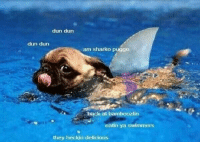 Back, Dun Dun, and Hey: dun dun  dun dun  am sharko puggo  back at bamboozlin  eatin ya swimmers  hey heckin delicious