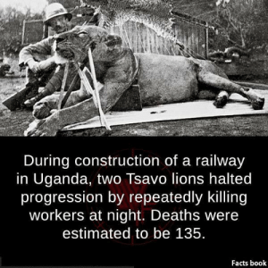 Facts Book: During construction of a railway  in Uganda, two Tsavo lions halted  progression by repeatedly killing  workers at night. Deaths were  estimated to be 135  Facts book