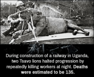 Memes, Lions, and Construction: During construction of a railway in Uganda,  two Tsavo lions halted progression by  repeatedly killing workers at night. Deaths  were estimated to be 135. https://t.co/cp33kLHXB1