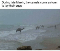 The great camel migration (1984): During late March, the camels come ashore  to lay their eggs The great camel migration (1984)