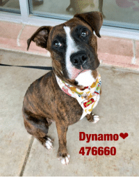 Dogs, Food, and Memes: Dynamo  476660 Email Placement@sanantoniopetsalive.org if you are interested in Adopting, Fostering, or Rescuing!  Our shelter is open from 11AM-7PM Mon -Fri, 11AM-5PM Sat and Sun.  Urgent Pets are at Animal Care Services/151 Campus. SAPA! is Only in Bldg 1 GO TO SAPA BLDG 1 & bring the Pet's ID! Address: 4710 Hwy. 151 San Antonio, Texas 78227 (Next Door to the San Antonio Food Bank on 151 Access Road)  **All Safe Dogs can be found in our Safe Album!** ---------------------------------------------------------------------------------------------------------- **SHORT TERM FOSTERS ARE NEEDED TO SAVE LIVES- email placement@sanantoniopetsalive.org if you are interested in being a temporary foster!!**