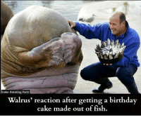 walruse: e Amazing Facts  Walrus' reaction after getting a birthday  cake made out of fish.