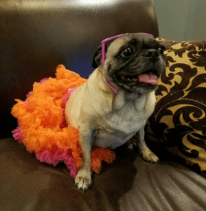 **Brand new to our rescue**  Please welcome, Totty!  My name's Totty and I'm a nine-year-old female pug.  I'm a bit shy when I first meet you, but I warm up quick (especially if you give me some dog treats).    Though I have entered my senior years, I have a feeling my big break is coming soon.  Will you be the angel I'm looking for?   Many people out there are looking to adopt a pug... maybe I can be the pug for you! Let's meet up soon, I'd love to meet you and show you just how special I am.    Apply to adopt Totty here: www.pugrescueaustin.com: e **Brand new to our rescue**  Please welcome, Totty!  My name's Totty and I'm a nine-year-old female pug.  I'm a bit shy when I first meet you, but I warm up quick (especially if you give me some dog treats).    Though I have entered my senior years, I have a feeling my big break is coming soon.  Will you be the angel I'm looking for?   Many people out there are looking to adopt a pug... maybe I can be the pug for you! Let's meet up soon, I'd love to meet you and show you just how special I am.    Apply to adopt Totty here: www.pugrescueaustin.com