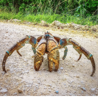"For this TBT, we wanted to remind everyone about the existence of this majestic beast. While most people's response to the coconut crab would be, ""Hahaha NOPE,"" we here at @Science think that the world's largest land-living arthropod is simply fascinating. Even though they have the ability to grow up to three feet long from leg to leg, the primary predators of this species of terrestrial hermit crab are humans and other coconut crabs. With an incredible sense of smell, these crabs are able to find fruits, nuts, and seeds with the blunt antennae located at the front of their heads. The coconut crab has become so adjusted to life on land that it would drown if left in water for more than an hour. Photo cred: Hadi Zaher: e For this TBT, we wanted to remind everyone about the existence of this majestic beast. While most people's response to the coconut crab would be, ""Hahaha NOPE,"" we here at @Science think that the world's largest land-living arthropod is simply fascinating. Even though they have the ability to grow up to three feet long from leg to leg, the primary predators of this species of terrestrial hermit crab are humans and other coconut crabs. With an incredible sense of smell, these crabs are able to find fruits, nuts, and seeds with the blunt antennae located at the front of their heads. The coconut crab has become so adjusted to life on land that it would drown if left in water for more than an hour. Photo cred: Hadi Zaher"