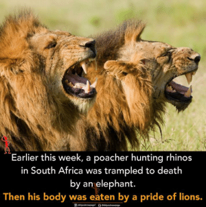 South Africa: Earlier this week, a poacher hunting rhinos  in South Africa was trampled to death  by an elephant.  Then his body was eaten by a pride of lions.
