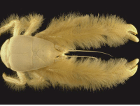 Bailey Jay, Easter, and Family: earthstory:    Meet the yeti crab, a creature so unusual that a whole new biological family had to be created to classify it.It was found along the Pacific-Antarctic Ridge, 1,500 kilometres south of Easter Island at a depth of 2,200 metres living on hydrothermal vents. As a result of analysis based on morphology and molecular data, the organism was deemed to form a new biological family (Kiwaidae). But, a lot else remains an enigma and much more is to be discovered. We do know that yeti crabs lack pigmentation in the eye and are hence thought to be blind. Also of interest, their fluffy pincers have been discovered to contain filamentous bacteria which may be involved in a chemosynthetic relationship with the organism. It is suggested that these bacteria may detoxify some of the poisonous minerals emanating from the hydrothermal vents.-JeanPhotograph by Ifremer A. Fifis