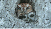 Eastern Screech-Owls are most commonly found in two morphs (or colors): red morph and gray morph. An intermediate brown morph is also possible.