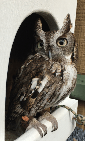 Eastern Screech-owls come in three color morphs: red, gray, and an intermediate brown! An estimated 1/3 of individuals are red (with that coloration being more common in the East).: Eastern Screech-owls come in three color morphs: red, gray, and an intermediate brown! An estimated 1/3 of individuals are red (with that coloration being more common in the East).