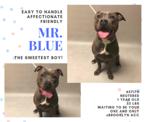 Being Alone, Animals, and Apparently: EASY TO HANDLE  AFFECTIONATE  FRIENDLY  MR.  BLUE  THE SWEETEST BOY!  #57170  NEUTERED  1 YEAR OLD  53 LBS  WAITING TO BE YOUR  ONE AND ONLY  eBROOKLYN ACC TO BE KILLED 5/30/2019  DUMPED AT THE SHELTER WITH WOUNDS AROUND HIS NECK!!  Poor Mr. Blue did not start his life with the best of owners!  Evidence of trauma seen: YES   Evidence of cruelty seen: YES   He arrived at the shelters with wounds around his neck due to the improper use of a choke or prong collar.  Yet he is THE NICEST SWEETEST BOY - At intake -  Soliciting pets and affection, relaxed body language, wagging tail. Allowed all handling.  Additional notes rave just how sweet he is! Easily handleable. Did well for all medical handling and procedures. Dumped because he did not get along with his family's cat, Mr Blue would likely do best as your one and only!  So Please help this SWEETHEART find the forever family that he so deserves!  SHARE pledge FOSTER adopt and #SAVEMRBLUE now!  Mr. Blue #57170 Neutered male gray dog @ Brooklyn Animal Care Center About 1 years old Weight 53 lbs Owner surrender on 19-May-2019, with the surrender reason stated as animal behavior - not good with resident animals.  Sorry, this pet is for new hope partners only.  Mr. Blue was placed at risk due to behavioral concerns; While Mr. Blue remains highly social when interacting with handlers, he remains challenging to manage in the care center as his reactivity passing other dogs appears intense at this time, likely exacerbated due to the shelter environment though we cannot be certain whether this may appear outside of the care center. Mr. Blue was observed to escalate to redirecting and a biting a handler, no skin was broken. We feel Mr. Blue would be best set up to succeed if placed with an experienced rescue partner at this time. Mr. Blue is otherwise healthy.  https://newhope.shelterbuddy.com/Animal/Profile/Index/7cc15c1c-c5e6-4597-8780-0b19dc933a61  My medical notes are... Weight: 53 lbs  Vet Notes Post Surgery Note Medical Assistant 15/03/2019  DVM Intake Estimated age: 1 year Microchip noted on Intake? No Microchip Number (If Applicable):  History: Stray  Subjective: BARH, no coughing/sneezing/vomiting/diarrhea  Observed behavior: Soliciting pets and affection, relaxed body language, wagging tail. Allowed all handling.  Evidence of cruelty seen: Yes, possible collar marks Evidence of trauma seen: Yes, possible collar marks  Objective: P: WNL R: WNL BCS: 5/9  OP: Mucous membranes pink and moist. CRT <2. No calculus/gingivitis. EENT: Eyes, ears, and nares clear bilaterally, no discharge noted. PLN: Small/soft/symmetrical/nonpainful CV: No murmurs or arrhythmias, pulses strong and synchronous. RESP: Eupneic, no crackles/wheezes GI: Soft, nonpainful, no palpable masses. UG: Male intact, two descended testicles, no discharge INT: Multifocal superficial 1-3 cm abrasions around neck in the area of the collar, no discharge or swelling. Good hair coat, no areas of alopecia or pruritus, no ectoparasites or masses noted. MS: Ambulatory x4, no pain on palpation of epaxials NEURO: Mentation appropriate, cranial nerves intact, no deficits noted.  Assessment: -Wounds (likely rope burns or abrasions from tight/choker collar, healing well)  Prognosis:  Good  Plan: -Neuter  Surgery: Okay for surgery  18/03/2019  Hx: 3/15 Intake, diagnosed with wounds (likely collar/choker related) that are healing well 3/18 had a request to check for vomiting  SO: BAR, good appetite, no noted elimination, good energy level, soliciting attention No csvd noted no d/c present EENT: Eyes clear, no head shake or ear scratching noted Lungs: eupneic, good rr/re MSI: clean and shiny coat, ambulatory, no obvious bleed or wounds, neck appears clean and dry, no discharge, odor or swelling No presence of vomitus noted in the kennel Male intact  A: wound - seemingly improving otherwise healthy  P: CTM at BACC OK for Glendale  19/05/2019  DVM Intake Exam  Estimated age: ~1 year Microchip noted on Intake? positive 985113002487744 History : return. Previously here 3/19/19-wound from collar. 3/19-neutered  Subjective: BARH Observed Behavior - very sweet. Easily handleable. Did well for all medical handling and procedures. Evidence of Cruelty seen - no Evidence of Trauma seen - no  Objective  P = wnl  R = eupneic  BCS 5/9 EENT: Eyes clear, ears clean, no nasal discharge noted Oral Exam: clean adult dentition, no oral lesions noted PLN: No enlargements noted H/L: NSR, NMA, CRT < 2, Lungs clear, eupneic ABD: Non painful, no masses palpated U/G: MN MSI: Ambulatory x 4, skin free of parasites, no masses noted, healthy hair coat CNS: mentation appropriate - no signs of neurologic abnormalities  Assessment: Apparently healthy  Plan: Continue to monitor while at BACC  Prognosis: Excellent  SURGERY: neutered  Post Surgery Note Medical Assistant 19/03/2019  Pre-surgical exam, anesthesia, and surgery performed by ASPCA. Green linear tattoo placed on ventral abdomen.  Medical Assistant 20/03/2019  Dispensed Carprofen 100mg - 1 tablet PO SID x 1 more day to Adoptions on 3/20/19.  -1456-  Details on my behavior are... Behavior Condition: 1. Green  Behavior History Behavior Assessment Mr. Blue had a loose body and wiggly tail when staff approached him. He allowed to be scanned, collared and did jump up on the counselor's lap and chest as he was pet. He was listening to sit and allowed staff to give him multiple treats.  Date of Intake: 3/15/2019  Basic Information:: Mr. Blue is a gray and white male dog that was brought to the center due to not getting along with cats. He has been to the vet in April and apparent health concerns.  Previously lived with:: 4adults, 1 cat  How is this dog around strangers?: Mr. Blue is friendly around strangers and will stiff them and even allow them to pet him.  How is this dog around children?: Mr. Blue has not been around children so behavior is unknown.  How is this dog around other dogs?: Mr. Blue has been around both small and large dogs but he will growl at them and does get tense around them.  How is this dog around cats?: Mr. Blue has lived with a cat in the home but he will become focused on the cat and try to chase the cat as well. He will not growl but will bark at cats.  Resource guarding:: Mr. Blue does not resource guard.  Bite history:: No bite history.  Housetrained:: Yes  Other Notes:: Mr. Blue is taken out to use the bathroom around 6:30 and then eats about a hour later. and follows that schedule every 2/3 hours.  Has this dog ever had any medical issues?: No  Medical Notes: No medical notes.  For a New Family to Know: Mr.Blue is a friendly dog who likes to eat his dry food, specificly Blue buffalo. He does like wet food as well. He enjoys playing with all sorts of toys like kongs and rope just to name a few. He also follows you around when your home and is also albe to stay home alone even in a crate. He is crate trained and does well for about 2-3 hours. He often times sleeps where ever or even in his crate. He enjoys baths and sits like a good boy! He does like to be brushed but has nevr had his nails trimmed. He only knows the command sit but is able to learn a whole lot more.  Behavior Assessment Date of intake:: 5/19/2019  Spay/Neuter status:: Yes  Means of surrender (length of time in previous home):: Owner surrender  Previously lived with:: 4 adults, 1 cat  Behavior toward strangers:: Friendly  Behavior toward children:: Unknown  Behavior toward dogs:: Growls, becomes tense around larger and smaller dogs  Behavior toward cats:: Chases, barks at resident cat  Resource guarding:: None reported  Bite history:: None reported  Housetrained:: Yes  Energy level/descriptors:: Friendly  Other Notes:: 3/15/2019, Stray with no known history, 1st stay in the care center  Date of assessment:: 5/20/2019  Summary:: Leash Walking Strength and pulling: Moderate to hard Reactivity to humans: None  Reactivity to dogs: Hard barking, growling, lunging  Leash walking comments:  Sociability Loose in room (15-20 seconds): Highly social Call over: Approaches readily Sociability comments:   Handling  Soft handling: Seeks contact, leans into pets Exuberant handling: Seeks contact, leans into pets Handling comments:  Arousal Jog: Follows, engages in exuberant play, readily settles Arousal comments:   Knock Knock Comments: No response  Toy Toy comments: Snaps upon approach   Summary:: According to Mr. Blue's previous owner, he has been around both small and large dogs but he will growl at them and does get tense around them.  5/20: Mr. Blue enters the play yard screeching and pulling hard on the leash upon seeing a novel female dog. He is collared and walked into the pen with a handler. Mr. Blue saw the novel female, charged at the gate, began to jump on the gate while baring his teeth and snarling. The gate is not opened due to his behavior and an off-leash interaction is not conducted.   Mr. Blue was surrendered as a stray, so his past behavior around other dogs is unknown.   3/17: Mr. Blue enters the play yard screeching and pulling hard on the leash upon seeing a novel female dog. He is collared and walked into the pen with a handler. Mr. Blue saw the novel female, charged at the gate, began to jump on the gate while baring his teeth and snarling. The gate is not opened due to his behavior and an off-leash interaction is not conducted.  Date of intake:: 5/19/2019  Summary:: Loose bodied, wiggly, attention seeking  Date of initial:: 5/19/2019  Summary:: Sweet, allowed all handling  ENERGY LEVEL:: Mr. Blue displays a high level of energy in the care center, we recommend daily mental and physical stimulation as a way to direct his energy and enthusiasm.  IN SHELTER OBSERVATIONS:: 5/23: Mr. Blue was pulling hard on leash as a handler kept him on a short lead through the hallway to return him to his kennel due to his reactive behavior. Another handler checked that other dogs were not in sight, but Mr. Blue became frustrated and redirected biting and releasing the handler's stomach then began to thrash. She loosened the rope and he stopped. He did not break skin but left three red scratches.   5/22: During his morning walk, Mr. Blue became reactive towards the other dogs in the shelter. When the handler continued to walk to increase the distances between Mr. Blue and the other dogs, Mr. Blue redirected his frustration onto him; biting and releasing. He did not break skin.  BEHAVIOR DETERMINATION:: New Hope Only  Behavior Asilomar: TM - Treatable-Manageable  Recommendations:: No children (under 13),No cats,Single-pet home,Recommend no dog parks,Place with a New Hope partner  Recommendations comments:: No children: Due to the observed resource guarding in the care center, we feel Mr. Blue would be best set up to succeed in an adult only home environment.  Single-pet home/recommend no dog parks: Due to the concerning behaviors that Mr. Blue has shown during playgroup (see DOG-DOG SUMMARY), we feel that Mr. Blue should not visit dog parks and be the only resident dog. The Behavior Department recommends that he be socialized in a more controlled setting until his behavior towards other dogs can be further addressed. Reward-based, force-free training can be utilized to help Mr. Blue associate dogs with things he enjoys like toys or treats.  No cats: In his previous home environment, Mr. Blue is reported to have not done well with the resident cat in the home. He would bark at and chase the cat. We advise against placing Mr. Blue into a home with cats or any other smaller animals at this time.   Place with a New Hope partner: While Mr. Blue remains highly social when interacting with handlers, he remains challenging to manage in the care center as his reactivity passing other dogs appears intense at this time, likely exacerbated due to the shelter environment though we cannot be certain whether this may appear outside of the care center. Mr. Blue was observed to escalate to redirecting and a biting a handler, no skin was broken. We feel Mr. Blue would be best set up to succeed if placed with an experienced rescue partner at this time; force-free, reward based training only is advised when introducing or exposing Mr. Blue to new and unfamiliar situations.  Potential challenges: : Resource guarding,On-leash reactivity/barrier frustration  Potential challenges comments:: Mr. Blue was observed to snap upon approach while engaged with a toy item in the care center, please see handout on Resource guarding.  Mr. Blue has been observed to lunge, growl and hard bark at passing dogs during walks, please see handout on Leash reactivity.  *** TO FOSTER OR ADOPT ***  If you would like to adopt a NYC ACC dog, and can get to the shelter in person to complete the adoption process, you can contact the shelter directly. We have provided the Brooklyn, Staten Island and Manhattan information below. Adoption hours at these facilities is Noon – 8:00 p.m. (6:30 on weekends)  If you CANNOT get to the shelter in person and you want to FOSTER OR ADOPT a NYC ACC Dog, you can PRIVATE MESSAGE our Must Love Dogs page for assistance. PLEASE NOTE: You MUST live in NY, NJ, PA, CT, RI, DE, MD, MA, NH, VT, ME or Northern VA. You will need to fill out applications with a New Hope Rescue Partner to foster or adopt a NYC ACC dog. Transport is available if you live within the prescribed range of states.  Shelter contact information: Phone number (212) 788-4000 Email adopt@nycacc.org Shelter Addresses: Brooklyn Shelter: 2336 Linden Boulevard Brooklyn, NY 11208 Manhattan Shelter: 326 East 110 St. New York, NY 10029 Staten Island Shelter: 3139 Veterans Road West Staten Island, NY 10309  *** NEW NYC ACC RATING SYSTEM ***  Level 1 Dogs with Level 1 determinations are suitable for the majority of homes. These dogs are not displaying concerning behaviors in shelter, and the owner surrender profile (where available) is positive. Some dogs with Level 1 determinations may still have potential challenges, but these are challenges that the behavior team believe can be handled by the majority of adopters. The potential challenges could include no young children, prefers to be the only dog, no dog parks, no cats, kennel presence, basic manners, low level fear and mild anxiety.  Level 2  Dogs with Level 2 determinations will be suitable for adopters with some previous dog experience. They will have displayed behavior in the shelter (or have owner reported behavior) that requires some training, or is simply not suitable for an adopter with minimal experience. Dogs with a Level 2 determination may have multiple potential challenges and these may be presenting at differing levels of intensity, so careful consideration of the behavior notes will be required for counselling. Potential challenges at Level 2 include no young children, single pet home, resource guarding, on-leash reactivity, mouthiness, fear with potential for escalation, impulse control/arousal, anxiety and separation anxiety.  Level 3 Dogs with Level 3 determinations will need to go to homes with experienced adopters, and the ACC strongly suggest that the adopter have prior experience with the challenges described and/or an understanding of the challenge and how to manage it safely in a home environment. In many cases, a trainer will be needed to manage and work on the behaviors safely in a home environment. It is likely that every dog with a Level 3 determination will have a behavior modification or training plan available to them from the behavior department that will go home with the adopters and be made available to the New Hope Partners for their fosters and adopters. Some of the challenges seen at Level 3 are also seen at Level 1 and Level 2, but when seen alongside a Level 3 determination can be assumed to be more severe. The potential challenges for Level 3 determinations include adult only home (no children under the age of 13), single pet home, resource guarding, on-leash reactivity with potential for redirection, mouthiness with pressure, potential escalation to threatening behavior, impulse control, arousal, anxiety, separation anxiety, bite history (human), bite history (dog) and bite history (other).  New Hope Rescue Only  Dog is not publicly adoptable. Prospective fosters or adopters need to fill out applications with New Hope Partner Rescues to save this dog.