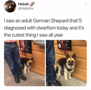 Could be a puppy, doesn't matter, either way it's adorable. via @hebahx: eba  @Hebahx  I saw an adult German Shepard that'S  diagnosed with dwarfism today and it's  the cutest thing I saw all year  ING  SMOKING Could be a puppy, doesn't matter, either way it's adorable. via @hebahx