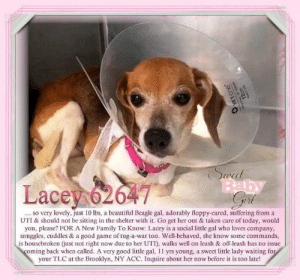 Beautiful, Cats, and Children: ecc  Lace 626  so very lovely, just 10 lbs, a beautiful Beagle gal, adorably floppy-cared, suffering from a  UTI & should not be sitting in the shelter with it. Go get her out & taken care of today, would  you, please? FOR A New Family To Know: Lacey is a social little gal who loves company  snuggles, cuddles & a good game of tug-a-war too. Well-behaved, she know some commands,  is housebroken (just not right now due to her UTI), walks well on leash & off-leash has no issue  oming back when called. A very good little gal, 11 yrs young, a sweet little lady waiting fo  your TLC at the Brooklyn, NY ACC. Inquire about her now before it is too late!  . SO RESCUED as per ACC :)  Lacey 62647... so very lovely, just 10 lbs, a beautiful Beagle gal, adorably floppy-eared, suffering from a UTI & should not be sitting in the shelter with it. Go get her out & taken care of today, would you, please? For A New Family To Know: Lacey is a social little gal who loves company, snuggles, cuddles & a good game of tug-a-war too. Well-behaved, she knows some commands, is housebroken (just not right now due to her UTI), walks well on leash & off leash has no issue coming back when called. A very good little gal, 11 yrs young, a sweet little lady waiting for your TLC at the  Brooklyn, NY ACC. Inquire about her now before it is too late!  ✔Pledge✔Tag✔Share✔FOSTER✔ADOPT✔Save a life!  Lacey 6264 Small Mixed Breed Sex female Age 11 yrs (approx.) - 10 lbs My health has been checked.  My vaccinations are up to date. My worming is up to date.  I have been micro-chipped.   I am waiting for you at the  Brooklyn, NY ACC. Please, Please, Please, save me!  **************************************** To FOSTER or ADOPT this little nugget, SPEAK UP NOW  Direct adopt from NYC ACC OR  APPLY with rescues  OR  message Must Love Dogs - Saving NYC Dogs for assistance immediately! **************************************  The general rule is to foster you have to be within 4 hours of t