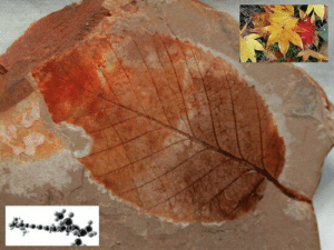 Energy, Fall, and Tumblr: eclecticirony:  Fossil Image CC BY-NC 4.0  Autumn Colored Fossil Leaf Who has not seen stunning displays of fall leaves, unless you live at too small or large of a latitude? By late summer, trees have sensed the shortened days, and begin turning off some genes and turning off others, which in turn beginning shutting down photosynthetic energy production. Turning water and carbon dioxide into energy by photosynthesis requires a lot of the green pigment chlorophyll. Essentially, the tree turns off the chlorophyll that is so abundant that most leaves are green during the growing season. As the chlorophyll is used up and not replaced, remaining color pigments always present come to dominate. One of those is beta-Carotene (lower left molecule), the strong orange pigment that makes carrots and pumpkins orange, and your skin orange too if you eat enough carrots and pumpkins.  Hence, the orange in autumn leaves. Fossil leaves are normally brown, though they can be quite detailed showing venation. The fossil leaf above is uncommonly colored, displaying autumn-like colors, but for entirely different reasons than live plants. During fossilization, organic material is replaced with minerals, and the fossil then displays the corresponding mineral colors. The red coloration above is likely due to the presence of iron. The fossil above is a 2 inch long, 50 million year old Eocene elm leaf from the Tranquil Shale in British Columbia, Canada.