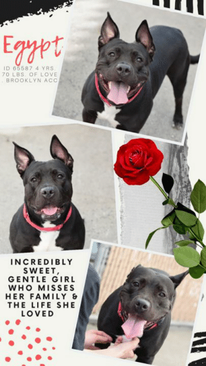 "Being Alone, Beautiful, and Cats: Egppt  ID 65587 4 YRS.  70 LBS OF LOVE  BROOKLYN ACC  INCREDIBLY  SWEET,  GENTLE GIRL  WHO MISSES  HER FAMILY  THE LIFE SHE  LOVED TO BE KILLED - 6/27/2019  Lovely Egypt Will Lend You Her Paw!  She's absolutely stunning! A study in ebony, EGYPT is gloriously beautiful with a shiny coat the color of a midsummer night. Gentle and incredibly sweet, she has no idea why she and her sibling, Zion, have found themselves at the shelter. It's clearly obvious they have only known the comfort and safety of a family home, and that is exactly where they should be – not separated from each other, lonely and alone in the shelter. Egypt is trying so hard to be brave and stoic. She likes to relax with the volunteers who give her love, comfort, and yummy treats. They even play ball with her and she tries to muster up the enthusiasm to retrieve them despite her broken heart. They tell her not to worry, it will be alright, and she so wants to believe that. But what Egypt really wants with all her heart is to be back in a home with a family to love her and give her back the lovely routine that she came to count on in her 4 years on earth. If you can give this sweet girl a soft place to land, please Message our page or email us at MustLoveDogsNYC@gmail.com for assistance. Egypt so deserves a family, she so deserves to be happy. Make her dream come true.  A volunteer writes: I wish I could spend my whole day with Egypt! As soon as we got outside, she jumped up for a doggie hug and stood there as I pet her head and told her what a sweet girl she is. After that she seemed too preoccupied with her own situation to interact much, but I saw other signs of a budding friendship. She periodically looked up at me like she was checking in and was a good girl sitting for treats. She had great leash manners too! Egypt was too modest to notice, but she even got a compliment from a passerby, who called her a ""beautiful dog"". It's not hard to see why with a coat so shiny that it glimmers in the sunlight and a texture so soft and smooth that it looks like silk. Though Egypt has a lot on her mind right now, once she feels everything's right in the world again, I think she'll just blossom! Come and meet sweet, beautiful Egypt at the Brooklyn ACC shelter where she's patiently awaiting her fur-ever home.  MY MOVIE: Egypt  https://youtu.be/8eXI_tbHg9c  EGYPT, ID# 65587, 4 yrs old, 70 lbs, Unaltered Female Brooklyn ACC, Large Mixed Breed, Black / White  Owner Surrender Reason: surrendered to BACC due to owner not having space for her and the other resident dog.  Shelter Assessment Rating: NEW HOPE ONLY No children (under 13) Medical Behavior Rating: Yellow  I CAME TO THE SHELTER WITH MY BROTHER, ZION ID# 65586 (ALSO IN NEED): https://www.facebook.com/…/a.19783778373…/1006107536242183/…  OWNER SURRENDER NOTES - BASIC INFORMATION: Egypt is an approx 4 year old black and white large female dog that was surrendered to BACC due to owner not having space for her and the other resident dog. She previously lived with 1 adult and 1 dog. Egypt is friendly and outgoing around strangers. Egypt has not been around children, it is unknown how she would react. Egypt has lived with a 4 year old large dog and they were described as relaxed, respectful, and tolerant of each other. She has not lived with cats but when she sees one on the street, she will chase and bark at the cat. Egypt is not bothered when her food or treats are moved but will growl if her toy is moved away. Egypt has no bite history, she is housetrained and her previous owner describes her energy level as very high.  Other Notes:  Egypt is said to be hard to control and be anxious when left alone. Egypt will growl held, is not bothered when her sleep is interrupted, when given a bath, when her coat is brushed, or when her paws are touched. Egypt will bark and growl when someone unfamiliar approaches the house and is not bothered when someone approaches the family member.  For a New Family to Know:  Egypt is described as friendly, affectionate, playful, confident, pushy, and independent. Egypt loves to play fetch and chase. Egypt will follow someone around, be in the same room as someone or stay in her favorite spot when someone is home. Egypt will play fetch, chase, wrestling, and tug. Egypt has been kept mostly indoors and will sleep anywhere in the home. Egypt has been fed Pedigree wet and dry food once a day with chicken. Egypt is house trained and will use the the potty on any surface outdoors. Egypt is well behaved when left home alone and will dig when in the yard. Egypt understands how to sit, come, down, stay, and shake. Egypt will go on slow walks or brisk walks, will go running, and off leash walks. Egypt will pull very hard on the leash and when off the leash she will wander but come back.  INTAKE NOTES – DATE OF INTAKE, 10-Jun-2019: Egypt had a very loose and wiggly body during intake, she was very exuberant and would jump for treats. Egypt allowed petting and went on the leash with no issues.  BEHAVIOR NOTES:  Means of surrender (length of time in previous home): Owner surrender Previously lived with: 1 Adult, 1 Dog (Large, Male, 4) Behavior toward strangers: Friendly and outgoing Behavior toward children: Unknown Behavior toward dogs: Relaxed, respectful and tolerant (w/resident dog) Behavior toward cats: Chases and barks (w/stray cats) Resource guarding: Previous owner reported Egypt to growl if her toys are moved away from her. No resource guarding reported over food or treats. Bite history: None reported Housetrained: Yes Energy level/descriptors: Egypt is described as friendly, affectionate, playful, confident, pushy and independent with a very high level of energy.  Other Notes: Previous owner reported Egypt to jump up and solicit attention, but when any full-body handling is attempted, Egypt has been observed to growl.  SAFER ASSESSMENT: Behavior Assessment Date: 6/12/2019  Summary:  Leash Walking Strength and pulling: Moderate pulling Reactivity to humans: None Reactivity to dogs: None Leash walking comments:  Sociability Loose in room (15-20 seconds): Neutral body, tail high, ears erect, explores somewhat, jumps up onto handler's lap soliciting attention, lip licking, accepts contact, readily accepts treats with a soft mouth Call over: Approaches readily, soft and loose Sociability comments:  Handling  Soft handling: Neutral body, low tail, lip licking, ears back, leans into handler, whale eyed, accepts all contact Exuberant handling: Neutral body, low tail, lip licking, ears back, leans into handler, whale eyed, low growled with handling near backside, accepts most contact Handling comments:  Arousal Jog: Engages in play with handler, open mouth, jumps up softly; Does not escalate Arousal comments: Jumps up softly onto handler prior to jog, panting  Knock Knock Comments: Jumps up toward assistant as she leaves the room, barks once exited; No response to knock; Approaches exuberantly, pulling toward door, then jumps up onto assistant soliciting attention, tail wagging  Toy Toy comments: Quickly grips toy firmly, tense and freezes  PLAYGROUP NOTES - DOG TO DOG SUMMARIES:  Summary:  According to Egypt's previous owner, she has lived with a large male dog and they were described as relaxed, respectful, and tolerant of each other.  6/11: When off leash at the Care Center, Egypt is introduced to a novel male dog. She greets the male with a neutral posture and explores the play yard. She corrects the male when he body bumps her when he passes her.  6/13: Egypt was introduced to a novel female dog today. She greeted the female with a neutral posture and kept to herself for the duration of the session.  INTAKE BEHAVIOR: Date of intake: 10-Jun-2019 Summary: Loose and wiggly, exuberant, jumped up toward treats, accepted contact; Allowed all handling  MEDICAL BEHAVIOR: Date of initial: 11-Jun-2019 Summary: Initially allowed limited handling; Growled, unable to muzzle  ENERGY LEVEL: Egypt has been observed to exhibit a medium-high level of energy during her interactions in the care center. We cannot be certain of her behavior in a home environment, but we recommend that she be provided daily mental and physical stimulation as an outlet for her energy.  BEHAVIOR DETERMINATION: New Hope Only Behavior Asilomar TM - Treatable-Manageable  Recommendations:  No children (under 13) Place with a New Hope partner  Recommendations comments:  No children (under 13): Due to Egypt's reported and observed handling sensitivity and resource guarding behavior, we feel she would be best set up to succeed in an adult only home at this time.  Place with a New Hope partner: Although she displays social behavior, solicits attention and accepts most contact, Egypt has been observed to low growl when being handled, observed during interactions in the care center and in a previous home environment. She was also observed to exhibit resource guarding behavior over her toys when approached, which was reported in a previous home environment as well. We feel she would be best set up to succeed if placed with an experienced rescue partner who can help manage these behaviors and allow her to decompress in a more stable environment prior to permanent placement in an adult-only home. Force-free, reward based training only is advised, as well as utilizing guidance from a qualified, professional trainer/behaviorist.  Potential challenges:  Resource guarding Handling/touch sensitivity  Potential challenges comments:  Resource guarding: Previous owner reported Egypt to growl if her toys are moved away from her. No resource guarding reported over food or treats. This behavior has been observed during her interactions in the care center. Please refer to the handout for Resource guarding.  Handling/touch sensitivity: Previous owner reported Egypt to jump up onto handlers and solicit attention, but when any full-body handling is attempted, Egypt has been observed to growl. This behavior has been observed during her interactions in the care center. During her medical exam and behavior assessment, when contact was made on or near her backside, Egypt was observed to become tense and low growl toward handlers. She has not been observed to escalate beyond these behaviors. Please refer to the handout for Handling/touch sensitivity.  MEDICAL EXAM NOTES  11-Jun-2019  DVM Intake Exam Estimated age: 4y Microchip noted on Intake? no Microchip Number (If Applicable): History : owner surrender Subjective: BARH, great appetite appetite, no elimination concerns, truncated physical due to increasing stimulation Observed Behavior - allowed some handling, was social but started growling. was unable to muzzle Evidence of Cruelty seen - no Evidence of Trauma seen - no Objective P = wnl R = wnl BCS 5/9 EENT: Eyes clear, ears clean, no nasal or ocular discharge noted Oral Exam: unremarkable adult dentition H/L: NSR, NMA, CRT < 2, Lungs clear, eupnic ABD: Not palpated U/G: female suspect intact no leakage or discharge. Developed mammary tissue MSI: Ambulatory x 4, no masses visible, healthy hair coat CNS: Mentation appropriate - no signs of neurologic abnormalities Rectal: visually normal Assessment healthy Prognosis: excellent Plan: ok for surgery complete intact tasks during surgery SURGERY: Okay for surgery  *** TO FOSTER OR ADOPT ***  HOW TO RESERVE A ""TO BE KILLED"" DOG ONLINE (only for those who can get to the shelter IN PERSON to complete the adoption process, and only for the dogs on the list NOT marked New Hope Rescue Only). Follow our Step by Step directions below!  *PLEASE NOTE – YOU MUST USE A PC OR TABLET – PHONE RESERVES WILL NOT WORK! **  STEP 1: CLICK ON THIS RESERVE LINK: https://newhope.shelterbuddy.com/Animal/List  Step 2: Go to the red menu button on the top right corner, click register and fill in your info.  Step 3: Go to your email and verify account  \ Step 4: Go back to the website, click the menu button and view available dogs  Step 5: Scroll to the animal you are interested and click reserve  STEP 6 ( MOST IMPORTANT STEP ): GO TO THE MENU AGAIN AND VIEW YOUR CART. THE ANIMAL SHOULD NOW BE IN YOUR CART!  Step 7: Fill in your credit card info and complete transaction  HOW TO FOSTER OR ADOPT IF YOU *CANNOT* GET TO THE SHELTER IN PERSON, OR IF THE DOG IS NEW HOPE RESCUE ONLY!  You must live within 3 – 4 hours of NY, NJ, PA, CT, RI, DE, MD, MA, NH, VT, ME or Norther VA.  Please PM our page for assistance. You will need to fill out applications with a New Hope Rescue Partner to foster or adopt a dog on the To Be Killed list, including those labelled Rescue Only. Hurry please, time is short, and the Rescues need time to process the applications."