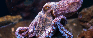 "Animals, Tumblr, and Weird: eight-times-nine:  realcleverscience:  currentsinbiology:  Octopus and squid evolution is officially weirder than we could have ever imagined  Just when we thought octopuses couldn't be any weirder, it turns out that they and their cephalopod brethren evolve differently from nearly every other organism on the planet. In a surprising twist, scientists have discovered that octopuses,  along with some squid and cuttlefish species, routinely edit their RNA  (ribonucleic acid) sequences to adapt to their environment. This is weird because that's really not how adaptations usually  happen in multicellular animals. When an organism changes in some  fundamental way, it typically starts with a genetic mutation - a change  to the DNA.  The findings have been published in Cell.   Olga Visavi/Shutterstock     Really interesting short read for those interested in evolution.  stupid non-cephalopodes: evolve through a relatively stable updating of genetic matrices grand cephalopod savants: biohacking into the nature mainframe and leaving eldritch comments in the engine's source. what the fuck is a ""stable release"""