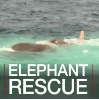 Memes, Elephant, and Navy: ELEPHANT  RESCUE 13 JUL: An elephant had to be rescued off the coast of Sri Lanka. It is believed that the mammal was caught in a current and then dragged into the ocean. Navy personnel were deployed for the rescue mission, which took several hours. Elephant ElephantRescue Mammal Ocean Coast SriLanka BBCShorts BBCNews @BBCNews
