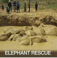 Animals, Asian, and Friday: ELEPHANT RESCUE 30 MAR: Watch rescuers help 11 elephants, including a baby, get out of a mud-filled bomb crater in Cambodia. The endangered animals were rescued on Saturday, after spending four days in the swampy waters, according to officials. The drama took place in the Keo Seima Wildlife Sanctuary in Mondulkiri Province. When local farmers realised the elephants were trapped in the depression last Friday, they notified the Department of Environment, who in turn notified the Wildlife Conservation Society (WCS). The conservationists were able to mobilise a rescue effort, supported by provincial authorities, local people, and the Elephant Livelihoods Initiative Environment (E.L.I.E). There are believed to be only several hundred of the endangered Asian elephants in Cambodia, according to conservation groups. All images courtesy of WCS-Kong Sothin-Khang Soeung-E.L.I.E. For more on the rescue: bbc.in-11elephants Elephant Elephants Conservation Animals Cambodia Asia BBCShorts BBCNews @BBCNews