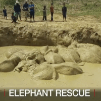 "Animals, Memes, and Wshh: ELEPHANT RESCUE ""Watch rescuers help 11 elephants, including a baby, get out of a mud-filled bomb crater in Cambodia. The endangered animals were rescued on Saturday, after spending four days in the swampy waters, according to officials."" 🙏🐘 @bbcnews WSHH"