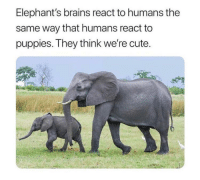 Brains, Cute, and Puppies: Elephant's brains react to humans the  same way that humans react to  puppies. They think we're cute.
