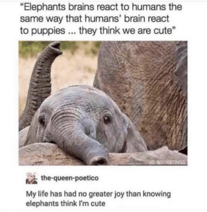 "Elephants think we are cute ^^: ""Elephants brains react to humans the  same way that humans' brain react  to puppies they think we are cute""  the-queen-poetico  My life has had no greater joy than knowing  elephants think I'm cute Elephants think we are cute ^^"