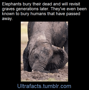 "gservator:  ultrafacts:    On many occasions, they have also buried dead or sleeping humans or aided them when they were hurt.   (Fact Source) Follow Ultrafacts for more facts!   >or sleeping humans  Me: *sleeping*Elephant: *while piling heaps of dirt on me* ""Lord now lettest thou thy servant depart in peace…"": Elephants bury their dead and will revisit  graves generations later. They've even been  known to bury humans that have passed  away.  Ultrafacts.tumblr.com gservator:  ultrafacts:    On many occasions, they have also buried dead or sleeping humans or aided them when they were hurt.   (Fact Source) Follow Ultrafacts for more facts!   >or sleeping humans  Me: *sleeping*Elephant: *while piling heaps of dirt on me* ""Lord now lettest thou thy servant depart in peace…"""
