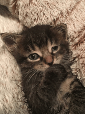 Kittens, Old, and Adorable: Eliza is the biggest of the 3 feral kittens we are fostering/socializing. They are 3 or 4 weeks old and absolutely adorable.