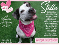 **** TO BE KILLED - 9/12/2017 ****  WITH NOT A MEAN BONE IN HER GORGEOUS BODY (love that cow print!), STELLA'S SIMPLY A PLAYFUL, FUN-LOVING GIRL WHOSE GOING TO NEED SOME BASIC TRAINING TO HELP HONE HER ROCKSTAR SKILLZ <3 <3 <3 A volunteer writes: Of course, when I meet a Stella, all that went through my head was Marlon Brando yelling 'STELLAAAA!', in A Streetcar Named Desire. I'm doing it now as I write! Our gorgeous girl is a super tomboy! She's energetic, playful, knows no boundaries, is joyful, fun and exuberantly affectionate. Even when rolling over for a belly rub, all four legs flailing in the air, she never stops moving with the pleasure of it all. Stella seems to be housetrained, loves to chase a ball but doesn't retrieve, loves to play tug and does it surprisingly softly, knows sit and then tilts her head as if asking, 'hey, how's this?' Stella takes treats very gently, and then super gently spits it out when not to her liking. Stella has a big–make that a huge–personality, needs lots of exercise and playtime, and might make a great jogging partner with the right training. A class with Miss Manners (remember her?) will help her become the rockstar dog she's meant to be. There's not a mean bone in this gorgeous body, just a playful, exuberant fun-loving girl who is looking for her equal in a human. Couch potatoes need not apply for our Stella, but if you're into exercise, fun and the love of a fabulously effervescent dog, Stella is waiting to meet you.  Manhattan Center STELLA - A1124404 2 year old female white/brown APBT mix, 64 lbs  Owner Surrender: Reason stated SURGERY Behavior Rating is EXPNOCHILD  STELLA <3  https://www.youtube.com/watch?v=dNZtVC0PrE4 https://www.youtube.com/watch?v=Hd5_CysANhY https://www.youtube.com/watch?v=w0bNYPxt5pI  S/O BAR, appears excited and friendly at front of cage mild serous nasal discharge honking cough with end gag appears eupnic A CIRDC P move to isolation baytril 136 mg tabs: 2 tabs PO SID x 14 days.  PET PROFILE MEMO 