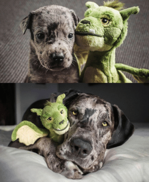Elliot's owner shares what he looked like at 4 weeks vs full grown, with his favorite toy (via): Elliot's owner shares what he looked like at 4 weeks vs full grown, with his favorite toy (via)