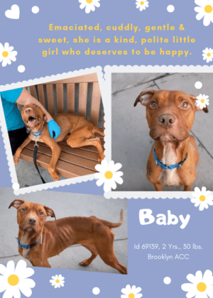 Bones, CoCo, and Dogs: Emaciated, cuddly, gentle &  sweet, she is a kind, polite little  girl who deserves to be happy.  Baby  Id 69139, 2 Yrs., 30 Ibs.  Brooklyn ACC INTAKE DATE – 7/14/2019  Emaciated and incredibly sweet, a gentle girl dreams of a family who will give her the care and TLC she needs, and the happiness she's only dreamed of.  BABY is a youngster of 2 Yrs., and she is barely 30 lbs.  Her ribs are visible, her hip bones protrude, her legs seem larger than her body, and she wears her heart in her eyes.  Hungry and forgiving, she only wants to be loved and cuddled and told she is a good girl.  And that she is, a good sweet girl with an innocent and endearing quality about her that makes you want to keep her safe.  In playgroup she is so polite, and only complains once when another exuberant pup dives under her and lifts her off her feet.  It had to have hurt, she is so thin.  But she continues to be a good companion and she is stoic and brave and accommodating of everyone around her.  We want so badly for her to leave the shelter before she gets sick.  Won't you foster or adopt her?  She's a gem of a dog, and it's high time she was treated like the Princess she is.  Hurry and message our page or email us at MustLoveDogsNYC@gmail.com for assistance.   MY MOVIE: Baby is sweet as can be  https://youtu.be/MiWzNE-J9C4  Baby - snuggle time  https://youtu.be/sFMGkCeujTg  Baby and Coco in Playgroup - Babysitting Troubles  https://youtu.be/oFJiozwlZkQ  BABY, ID# 69139, 2 yrs old, 30 lbs, Unaltered Female Brooklyn ACC, Medium Mixed Breed, Brown / White    Owner Surrender Reason: Owner in hospital Shelter Assessment Rating: Medical Behavior Rating:   I came to the shelter with Bam Bam (ID 69141) and Pooch (ID 69140)  *** TO FOSTER OR ADOPT ***   If you would like to adopt a NYC ACC dog, and can get to the shelter in person to complete the adoption process, you can contact the shelter directly. We have provided the Brooklyn, Staten Island and Manhattan information 