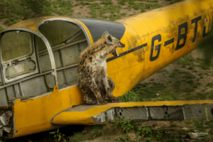 Target, Tumblr, and Airplane: emiliefoulon wind-at-your-back:  blackhulkling:  teapotsahoy: although they have a reputation as scavengers, hyenas are known to take down prey many times bigger than they are  I like how this implies the hyena took down the airplane.  She did.