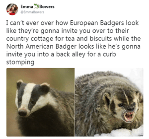 sonnetscrewdriver: becausegoodheroesdeservekidneys: As funny as this is, as someone who has met a European badger, all I can say is at least the American one has the decency not to hide the fact that it will tear your kidneys out via your toes if you so much as look at it funny. This was my response to THIS VERY TWEET : Emma Bowers  @EmmaBowers  I can't ever over how European Badgers look  like they're gonna invite you over to their  country cottage for tea and biscuits while the  North American Badger looks like he's gonna  invite you into a back alley for a curb  stomping  Photo sonnetscrewdriver: becausegoodheroesdeservekidneys: As funny as this is, as someone who has met a European badger, all I can say is at least the American one has the decency not to hide the fact that it will tear your kidneys out via your toes if you so much as look at it funny. This was my response to THIS VERY TWEET