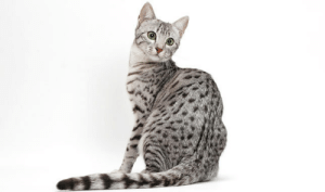 "Cats, Pokemon, and Tumblr: emmaeaster:  apairoflyriumtattooedbreasts:  thesixpennybook:  historical-nonfiction: The Egyptian Mau is probably the oldest breed of cat. In fact, the breed is so ancient that its name is the Egyptian word for ""cat."" #did they name it mau because thats the sound cats make!? now I am just imagining a very early Egyptian encountering a wild cat for the first time. human: what the fuck are you? cat: mau human: oh okay then  The very first pokemon.   I don't know why I'm laughing so hard"