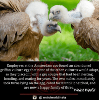 Family, Memes, and Weird: Employees at the Amsterdam zoo found an abandoned  griffon vulture egg that none of the other vultures would adopt  so they placed it with a gay couple that had been nesting,  bonding, and mating for years. The two males immediately  took turns lying on the egg, cared for it until it hatched, and  are now a happy family of three  Weird World  @ weirdworldinsta