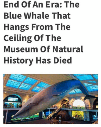 It was only a matter of time: End Of An Era: The  Blue Whale That  Hangs From The  Ceiling Of The  Museum Of Natural  History Has Died It was only a matter of time
