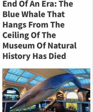 Blue, History, and Irl: End Of An Era: The  Blue Whale That  Hangs From The  Ceiling Of The  Museum Of Natural  History Has Died me irl