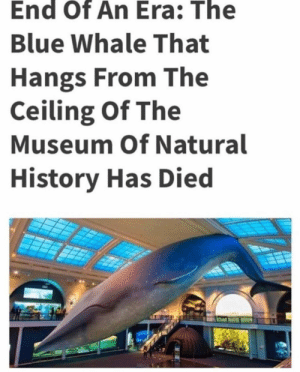 Memes, Soon..., and Blue: End Of An Era: The  Blue Whale That  Hangs From The  Ceiling Of The  Museum Of Natural  History Has Died Gone too soon