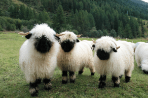 Cute, Tumblr, and Twitter: end0skeletal:  nprfreshair: Howdy. Valais Blacknose Sheep from Switzerland Photo via redscharlach  When you can see their faces they are very cute!via Zoo Tierpark Berlin