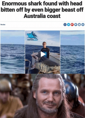 enormous: Enormous shark found with head  bitten off by even bigger beast off  Australia coast  The Sun  TRR