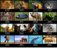 """Apparently, Disney, and Ftw: ENTJ  INTJ  SOLITARY HUNTER.  ENTP  INTP  KING OF THE JUNGLE  CHARMING AND CLEVER  WISE AND CALM  ESTJ  ISTJ  ESTP  ISTP  STRICT AND AGGRESIVE  SLOW, BUT TOUGH.  SUBTLE AND OPPORTUNISTIC  SECRETIVE AND UNPREDICTABLE  ENFJ  INFJ  ENFP  INFP  LOYAL AND AFFECTIONATE  RARE AND FASCİNATING.  SPONTANEOUS AND CREATIVE  FREE-SPIRITED AND KIND,  ESFJ  ISFJ  ESFP  ISFP  GENTLE AND CARING  TERRITORIAL AND PROTECTIVE  FUN AND ENTERTAINING  HARMLESS AND SENSITIVE  MBTI. IUN KİLTUMBLRCOM <p><a class=""""tumblr_blog"""" href=""""http://only-conservative-here.tumblr.com/post/42901945427/alleluiaelizabeth-only-conservative-here"""">only-conservative-here</a>:</p> <blockquote> <p><a class=""""tumblr_blog"""" href=""""http://alleluiaelizabeth.tumblr.com/post/42901631995/only-conservative-here"""">alleluiaelizabeth</a>:</p> <blockquote> <p><a class=""""tumblr_blog"""" href=""""http://only-conservative-here.tumblr.com/post/42885276114/justanotherconservative"""">only-conservative-here</a>:</p> <blockquote> <p><a class=""""tumblr_blog"""" href=""""http://justanotherconservative.tumblr.com/post/42884662178/only-conservative-here-c0ldchills"""">justanotherconservative</a>:</p> <blockquote> <p><a class=""""tumblr_blog"""" href=""""http://only-conservative-here.tumblr.com/post/42884163070/c0ldchills-confessionsofabibliomaniac"""">only-conservative-here</a>:</p> <blockquote> <p><a class=""""tumblr_blog"""" href=""""http://c0ldchills.tumblr.com/post/42883017346/confessionsofabibliomaniac-meinschatzii"""">c0ldchills</a>:</p> <blockquote> <p><a class=""""tumblr_blog"""" href=""""http://confessionsofabibliomaniac.tumblr.com/post/42882232942/meinschatzii-therealprincessleja-find-out"""">confessionsofabibliomaniac</a>:</p> <blockquote> <p><a class=""""tumblr_blog"""" href=""""http://meinschatzii.tumblr.com/post/42828194856/therealprincessleja-find-out-what-your-mbti"""">meinschatzii</a>:</p> <blockquote> <p><a class=""""tumblr_blog"""" href=""""http://therealprincessleja.tumblr.com/post/41792991175/find-out-what-your-mbti-personality-type-is"""">therealprincessleja</a>:</p> <"""