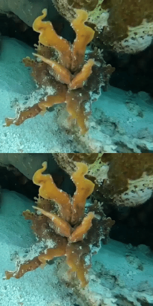 epic-e: sixpenceee:  Cuttlefish disguising itself as coral. (Source)  That's…actually kinda frightening 😳😳😳 : epic-e: sixpenceee:  Cuttlefish disguising itself as coral. (Source)  That's…actually kinda frightening 😳😳😳